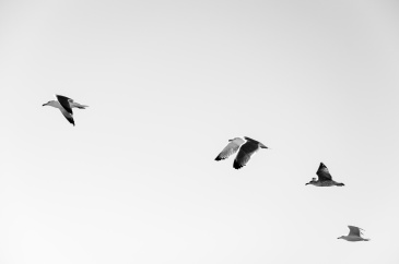 A black and white photo of four birds flying in a row.